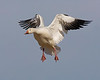 Snow Geese : A collection of Snow Geese images.