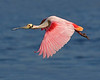 Spoonbills, Storks & Ibis : A collection of Spoonbill, Stork & Ibis images.