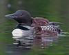 Loons : A collection of Loon images.